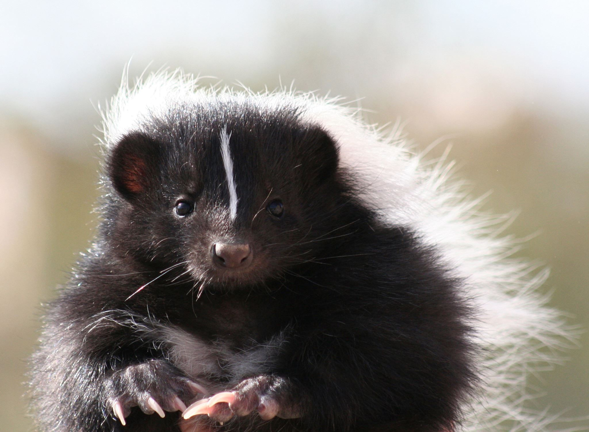 Hooded skunk. Their tails are longer than their bodies - usually over 1 foot in length!