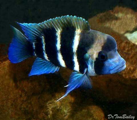 6 Striped Frontosa Cichlid Aquarium Fish Cichlid Fish Aquarium Fish For Sale
