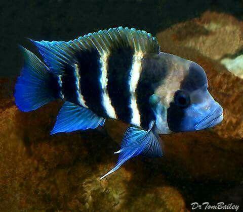 6 Striped Frontosa Cichlid Aquarios Incriveis Peixes Coloridos Peixes