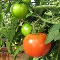 When to plant tomatoes last frosty date when should I plant tomatoes #tomatenpflanzen