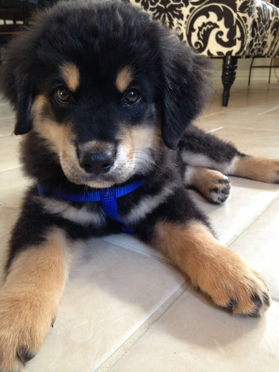 Australian Shepherd Black And Tan Australian Shepherd Aussie