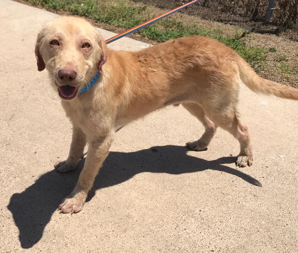Golden Labrador Dog For Adoption In New York Ny Adn 541012 On Puppyfinder Com Gender Male Age Adult Dogs For Adoption Golden Retriever Labrador Golde