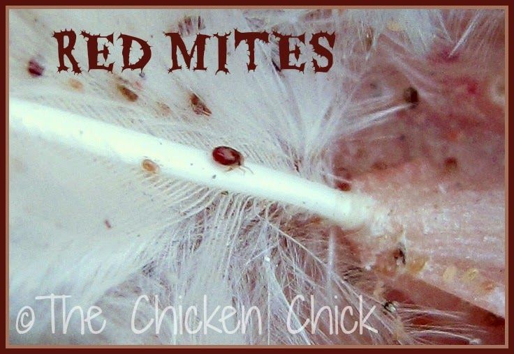 Lice and Mites Identification and Treatment | Chickens and Chicken