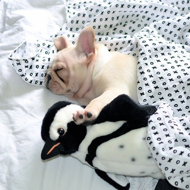 You Can T Sleep With Us French Bulldog And Her Trusty Stuffed