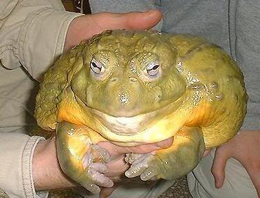 Image result for goliath frog