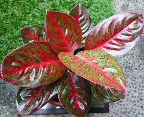 Aglaonema Jenis Tanaman Hybrid Tanaman Hias Daun Tanaman Bunga