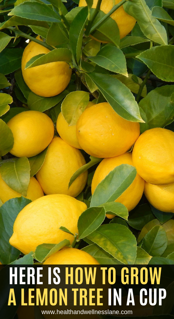 Here Is How To Grow A Lemon Tree In A Cup Lemon Tree Diy Herbal Remedies Lemon Seeds
