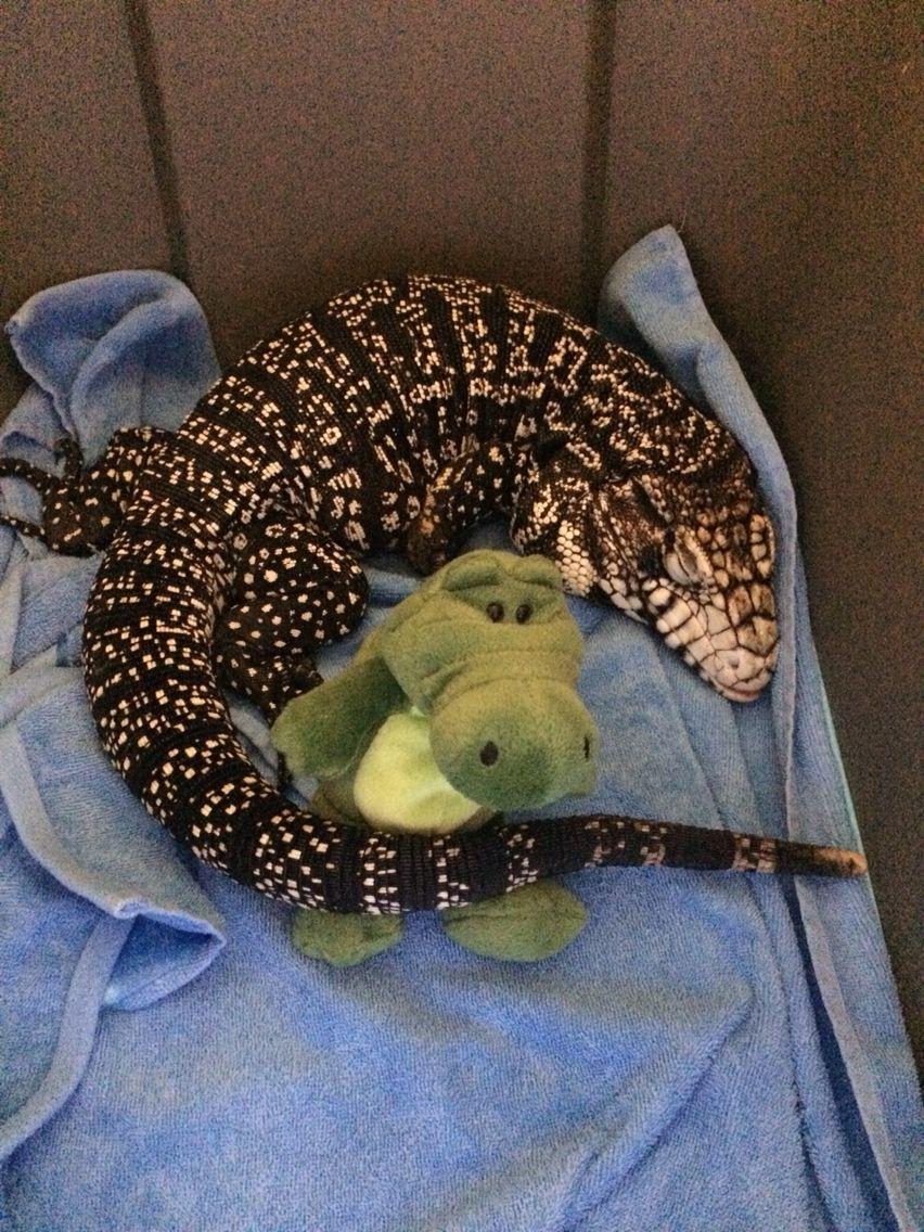 argentine tegu needs a large terrarium bearded dragon funny