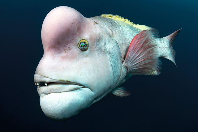 Schafskopf Lippfische Fuhren Lange Zeit Ein Unscheinbares Dasein Einige Jahre Nach Erreichen Der Geschlechtsr Leben Im Meer Unterwasser Fotografie Wassertiere