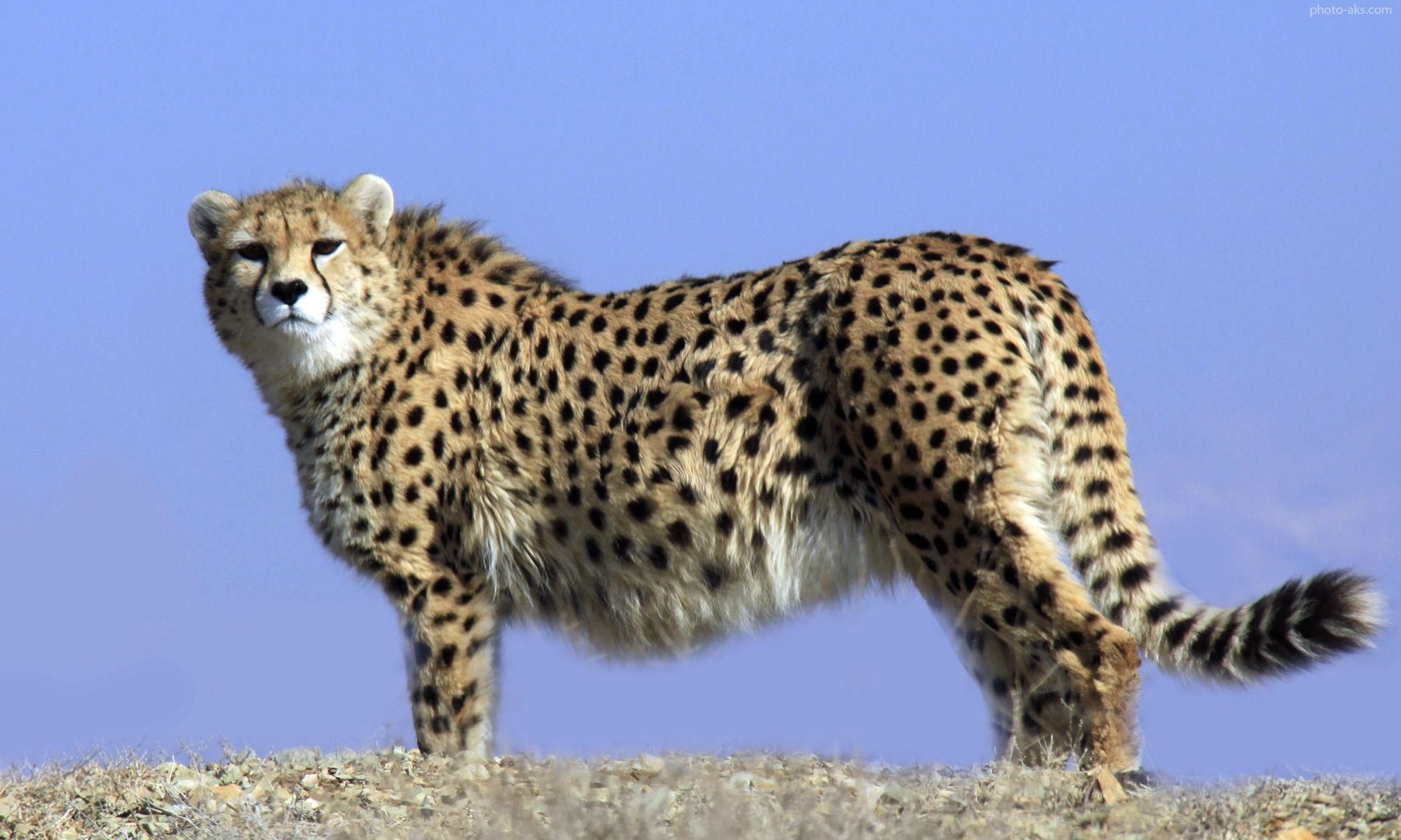 ● یوزپلنگ ایران  حیوانات رو به انقراض را بشناسیم!