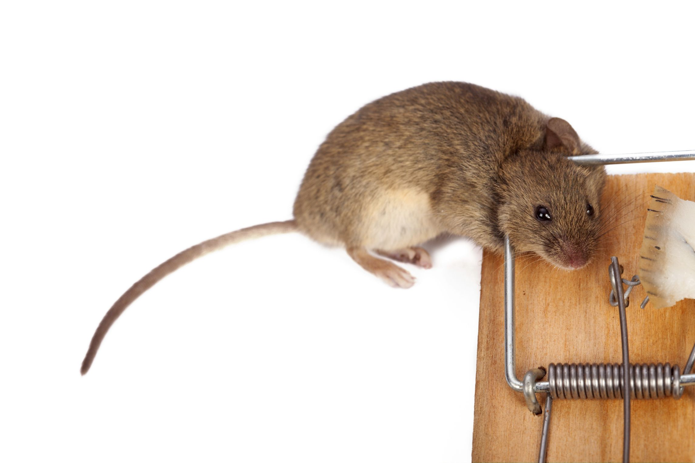 Good Riddance Pest Control Is A Well Known Rodent Specialists In The Palm Coast Fl Area Reach Our Team At Now