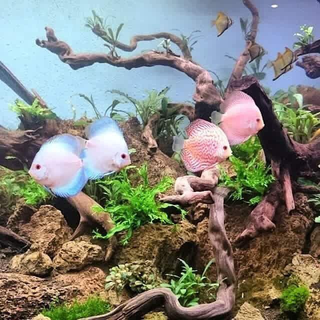 #fish #aquarium #fishtank #TagsForLikes #fishporn #instafish #instagood #swim #swimming #water #coral #reef #reeftank #tropical #tropicalfish #aquaria #photooftheday #saltwater #freshwater #beautiful #ocean #watertank