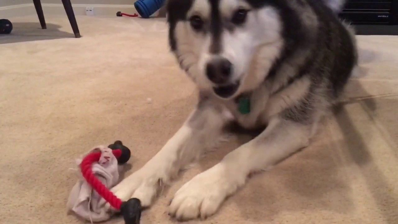 Siberian Husky Pup Tells His Owner To Play Https Youtu Be Ith1ywelxms With Images Husky Husky Puppy Siberian Husky