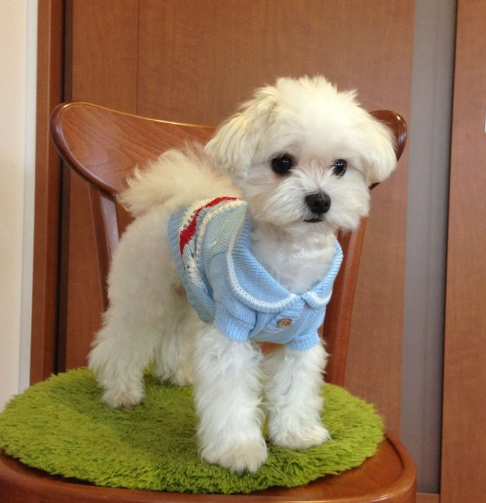 Maltese Dog Grooming Styles Google Search Maltese Dogs Haircuts