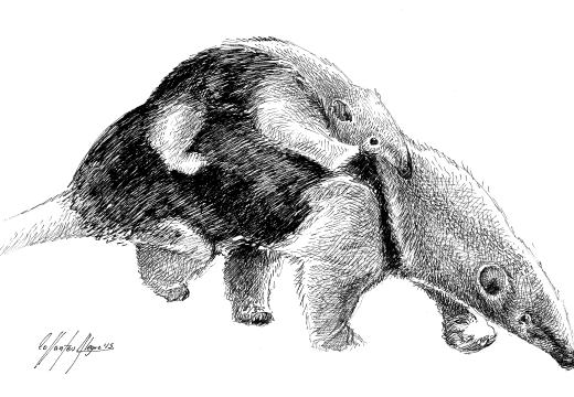 Tamanduá (Tamandua tetradactyla) un oso hormiguero sudamericano ...