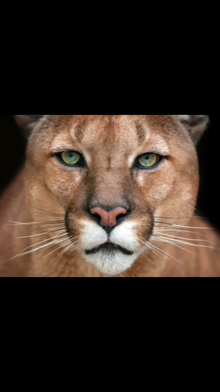 Pin By Dalton D Spain On Mountain Lion Mountain Lion Animals Panther
