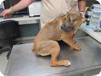 Rockford il pit bull terrier meet brownie a dog for adoption rockford il pit bull terrier meet brownie a dog for adoption solutioingenieria Images
