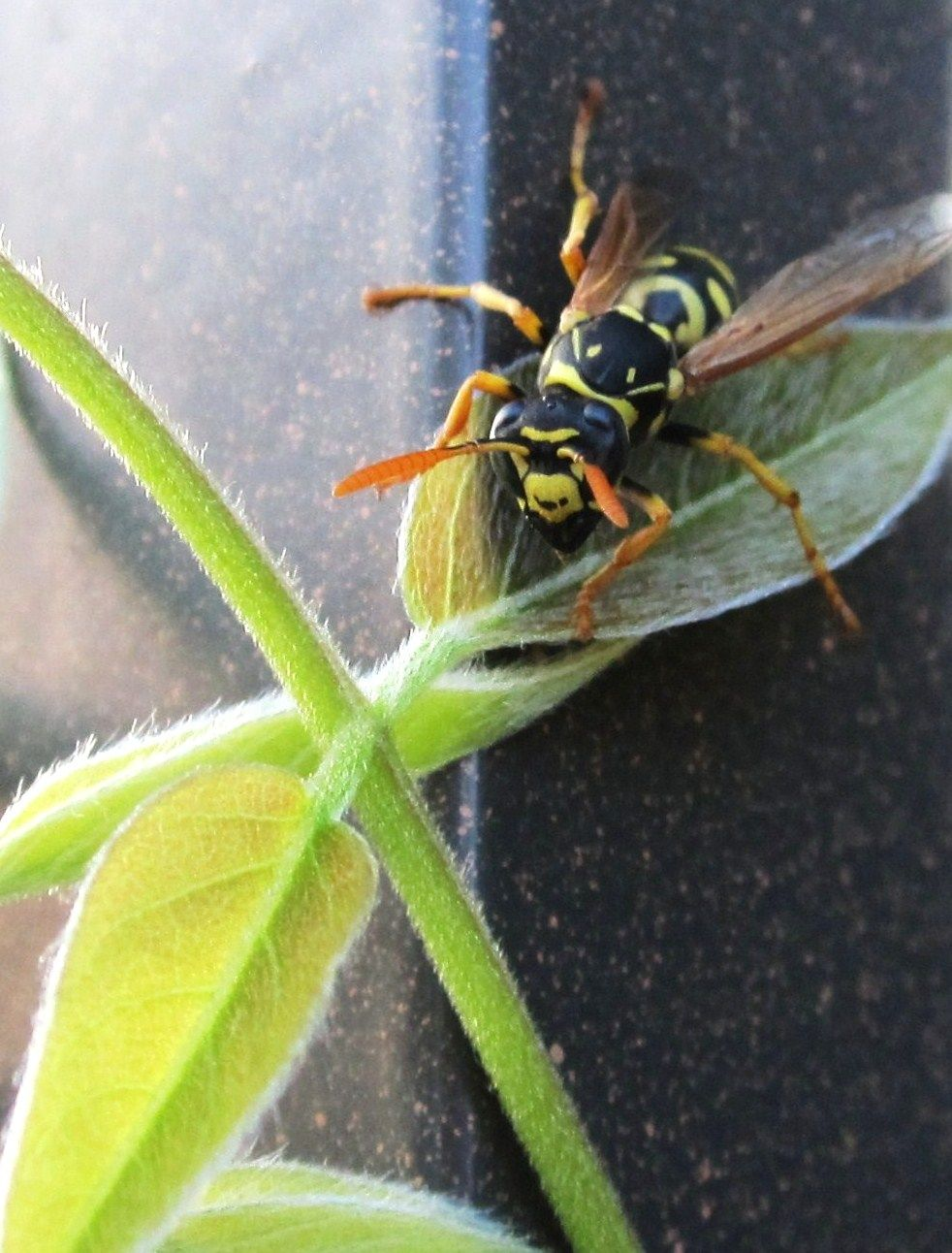How to Make a Chemical Free Wasp Trap Wasp traps, Wasp