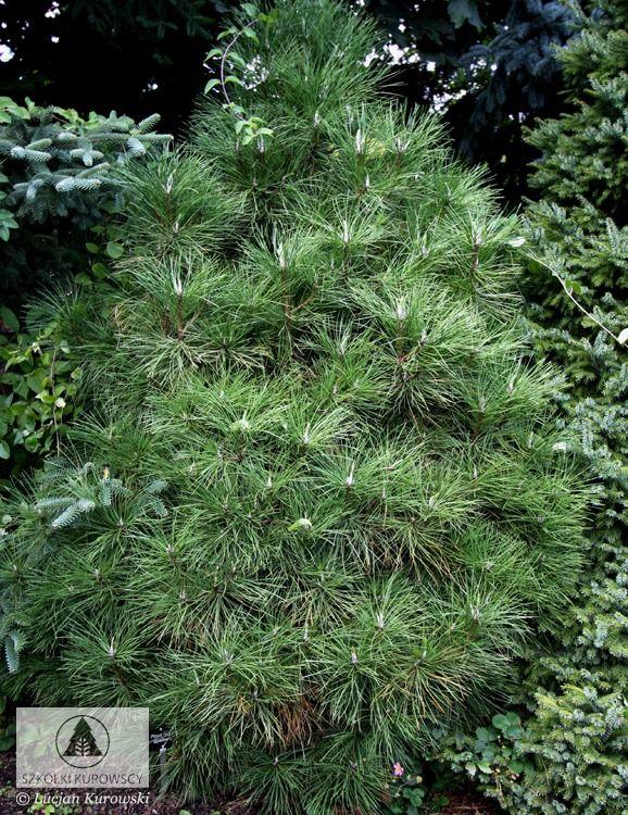 Pinus nigra 'Spielberg' -