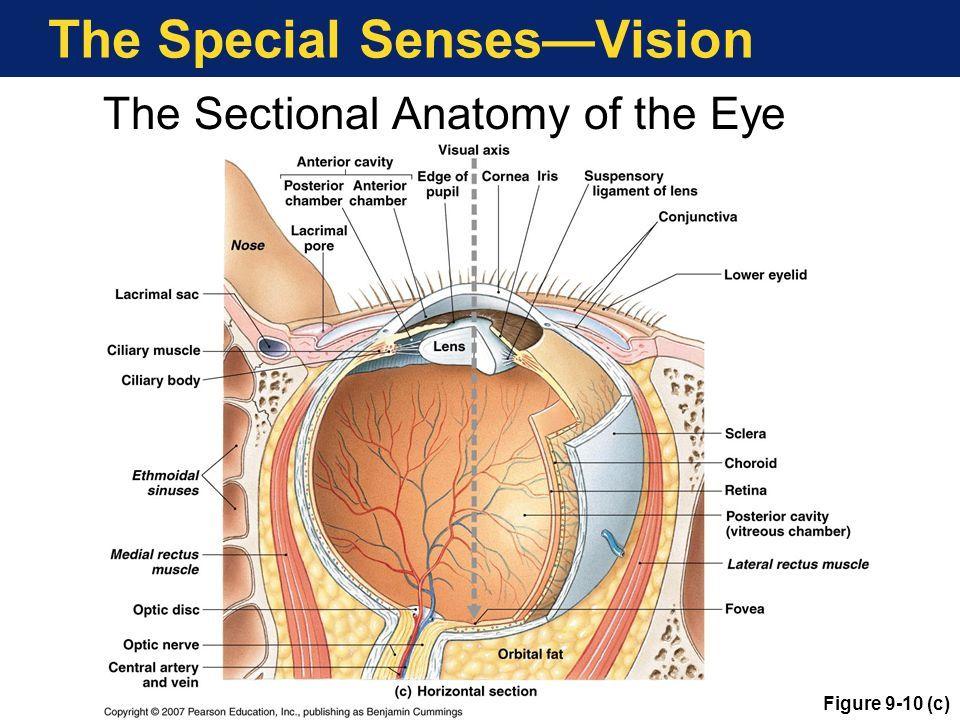Fein Anatomy And Physiology Of Eyes Zeitgenössisch - Menschliche ...