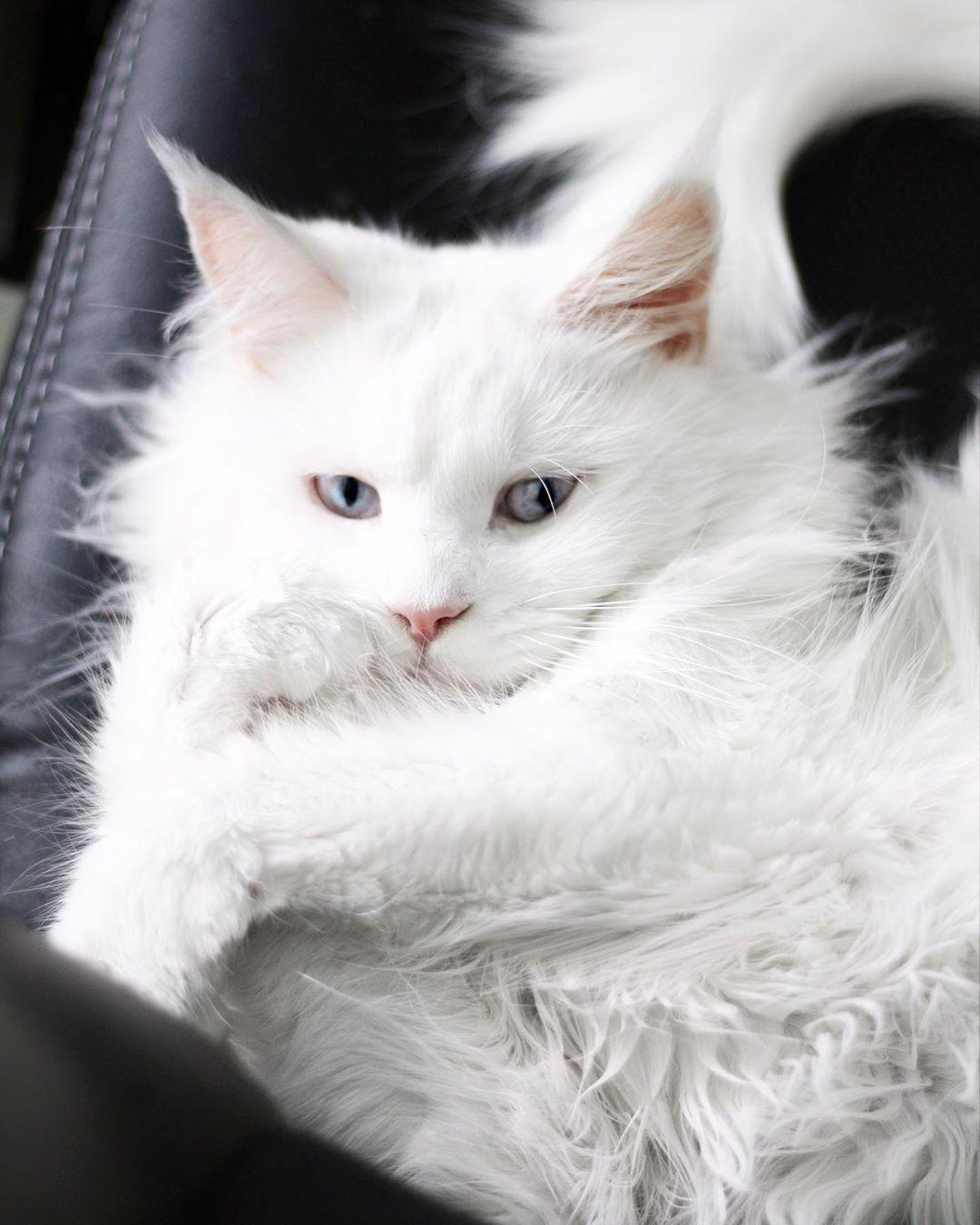 Impossible To Resist Her Nala Balousfriends Bestcats Oftheworld Blueeyedcat Cat Catlover Catofinstagram Catphoto Cats Features Catsofinstagram Di 2020