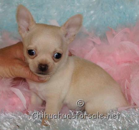Titen 6 Weeks Of Age Www Chihuahuasforsale Net Chihuahua