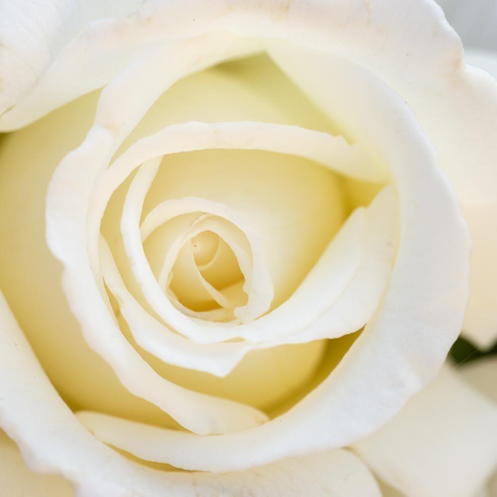 White Rose Wall Art, Fine Art Photography, Home Decoration, Bathroom ...