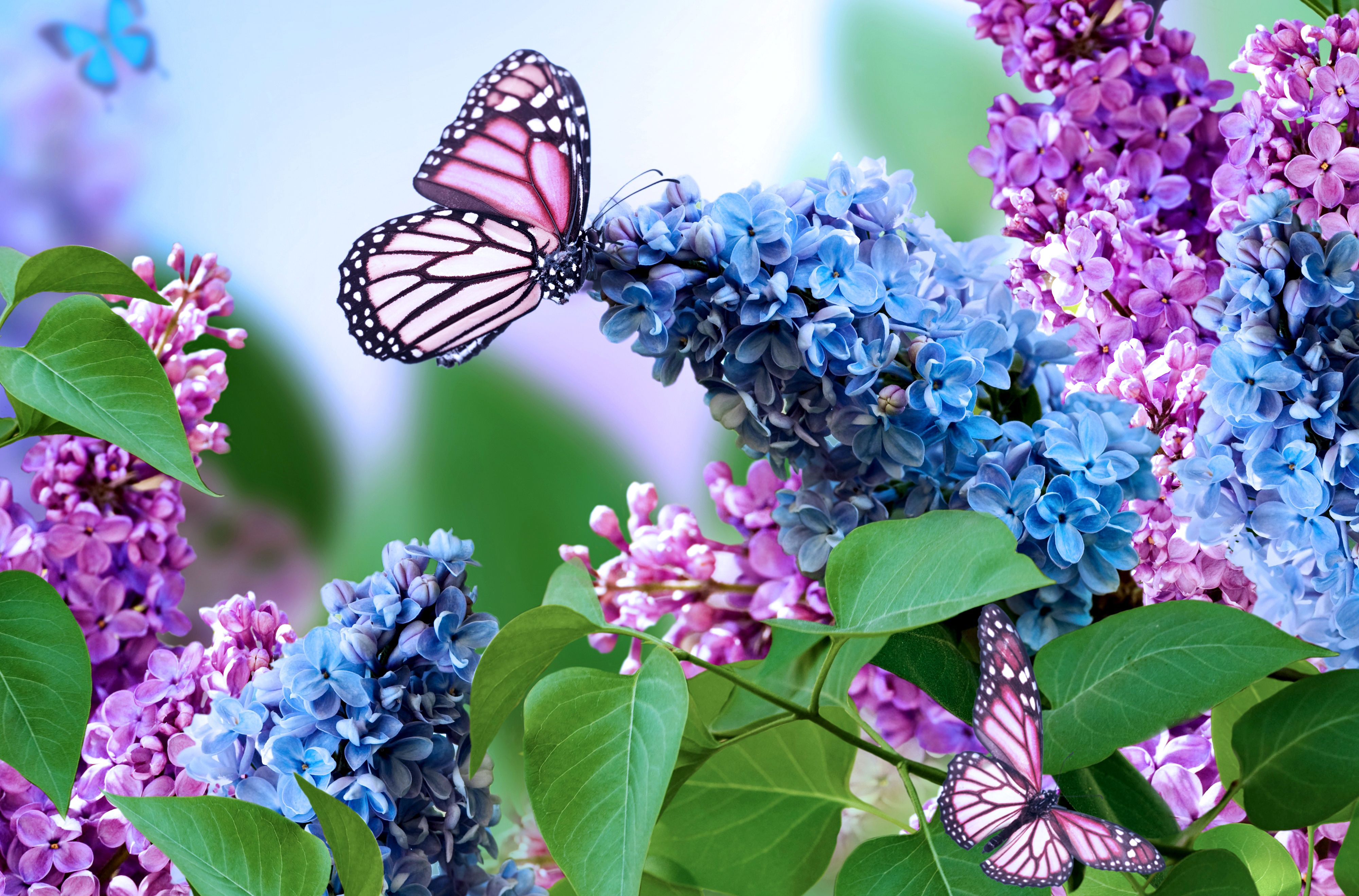 Purple butterfly on spring blue and purple lilac for Lilac butterfly wallpaper