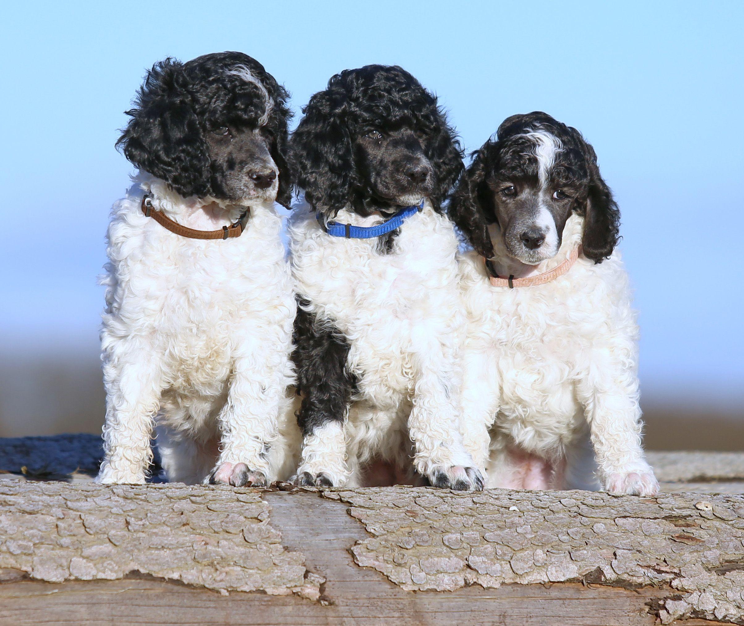Gina Ginger Griselda Of Spotted Parti Hunde Schecken Tiere