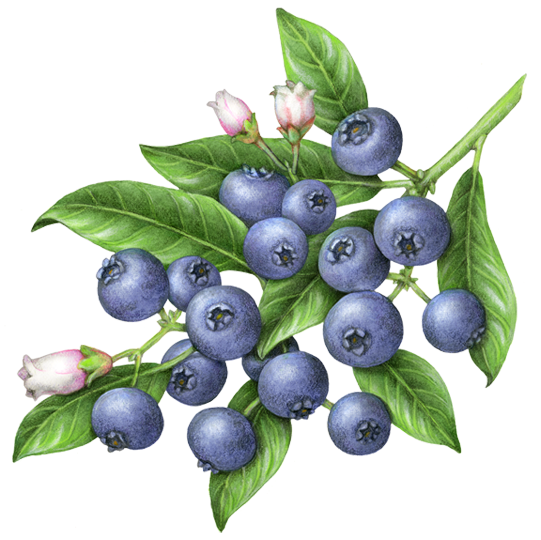 Botanical Illustration Of A Branch Of Blueberries With