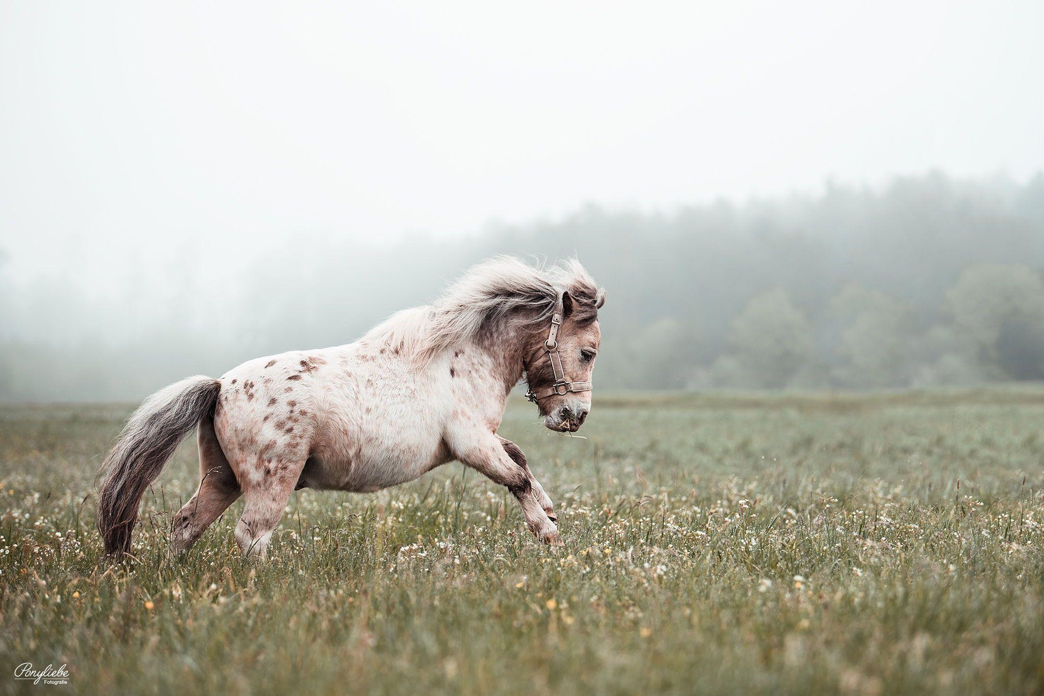 Frei sein - Mini Pony unterwegs!    Pferdefotografie by Ponyliebe Fotografie. Horse Photography. Equine Photography. Equine Photo Love. Animal Photography. Fotografieren lernen. Weiterbildung für Tierfotografen.  Pferdeportrait. #pferdefotografie #equinephotolove #equinephotographer