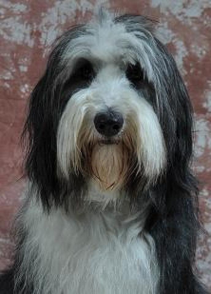 Wolke Bearded Collie Hunde Widpet Hundemarken Mit Qr Code Bearded Collie