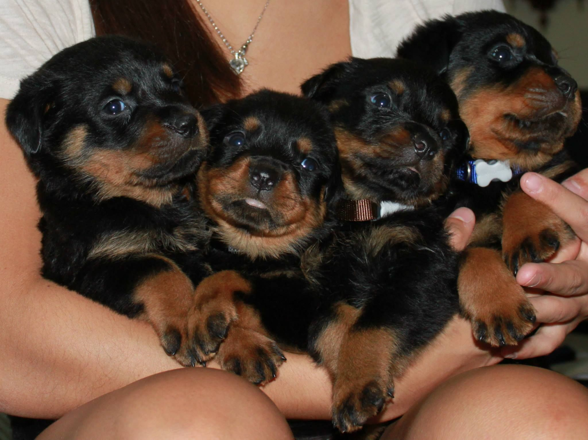 Rottweiler Dog Food Rottweiler Puppies Pinterest Dogs