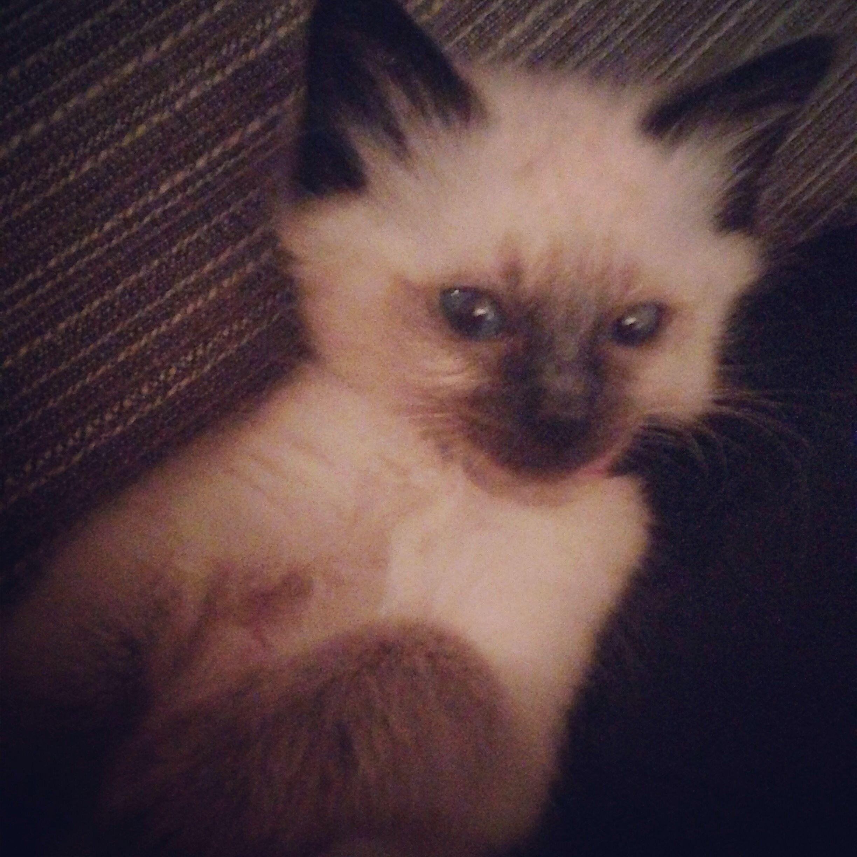 My Pure Ragdoll Kitten 8 Weeks Old Kittens Cutest Ragdoll Kitten Kitten