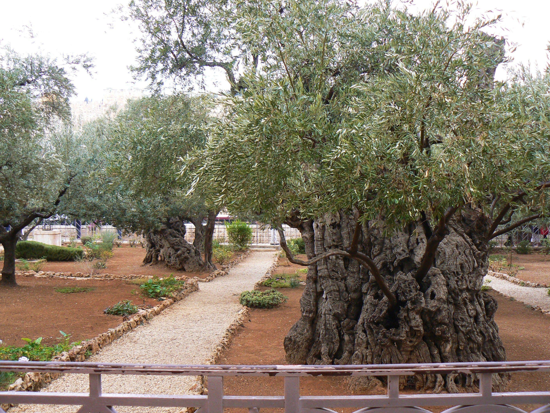 Old olive tree in the Garden of Gethsemane | Israel | Pinterest