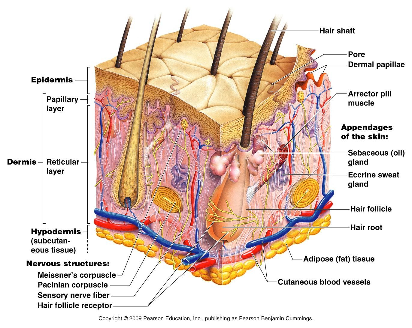 skin structure diagram labelled diagram skin structure diagram body of anatomy [ 1372 x 1094 Pixel ]