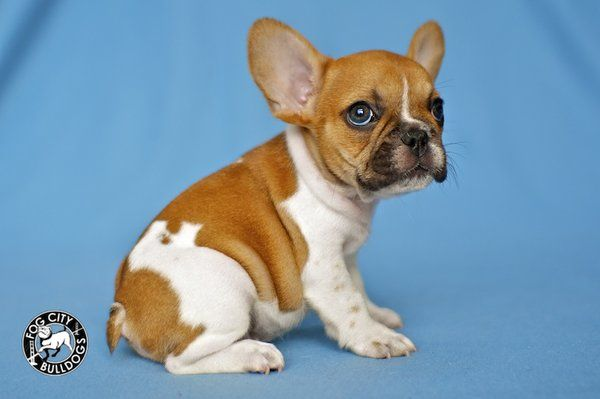 Red Piebald French Bulldog Puppy Fogcitybulldogs Com Yelp