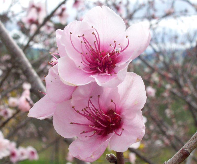 Delaware State Flower The Peach Blossom Peach blossom
