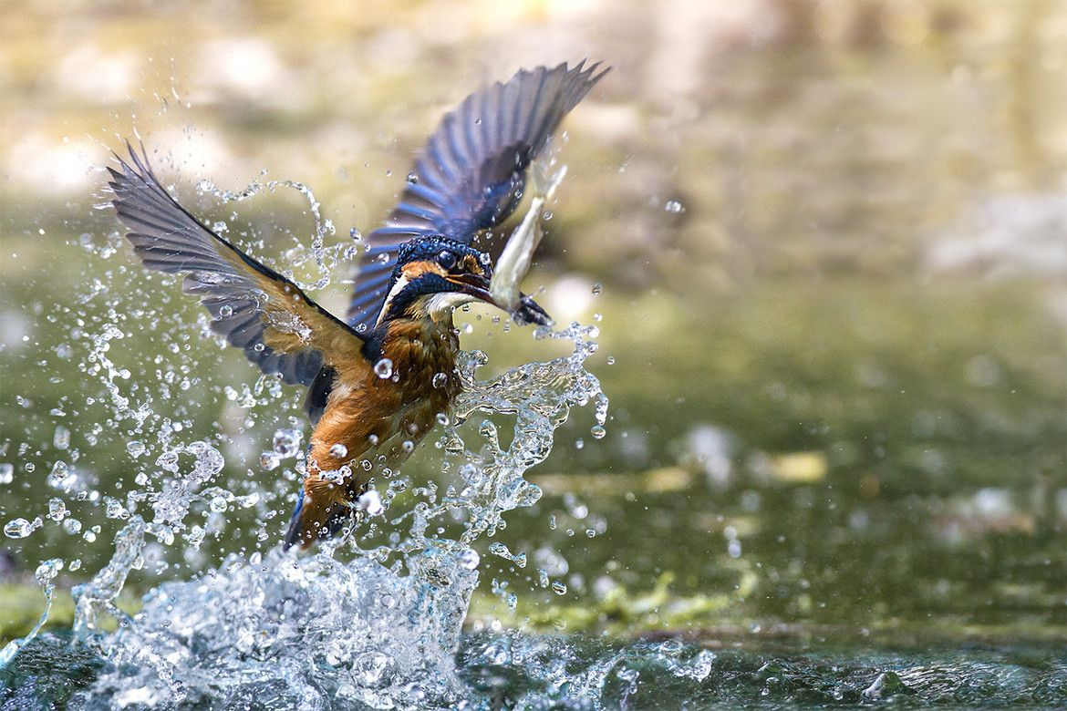 Kingfisher bird with fish. Angel water's catch