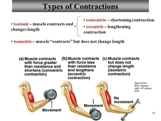 Chapter 9 Muscle Structure & Physiology Lecture ppt video online