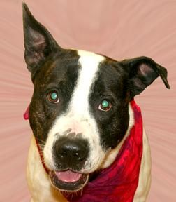 Adopt Bruno On Animal Rescue Animals Terrier Mix Dogs
