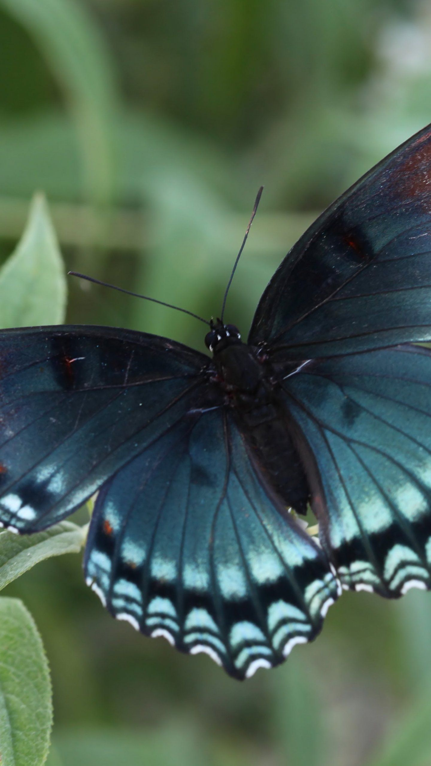 Red Spotted Purple Butterfly Wallpaper iPhone, Android