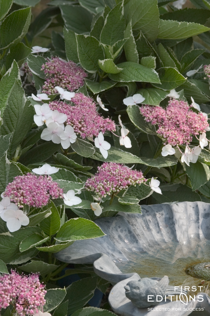 This Elegant Lacecap Hydrangea Stands Out With Remarkably Wide Pure White Variegation The Lacecap Flower He Flower Garden Plans Planting Hydrangeas Hydrangea