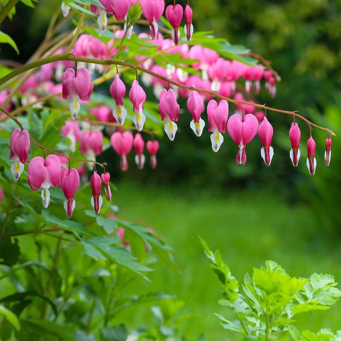 Bleeding Hearts Pink (Dicentra) Plants, Bleeding hearts