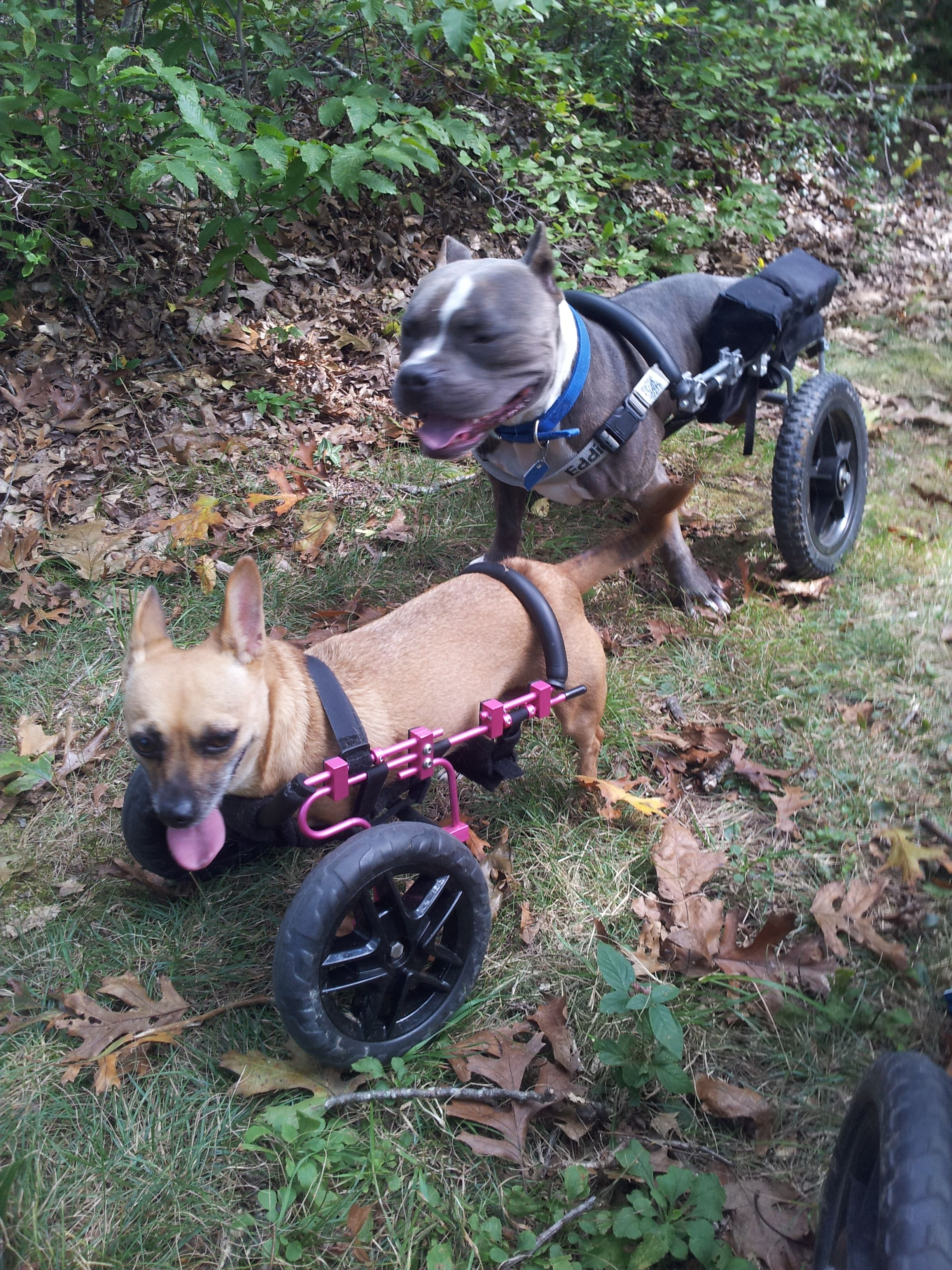 Willa and Beau hiking in their dog wheelchairs Dog