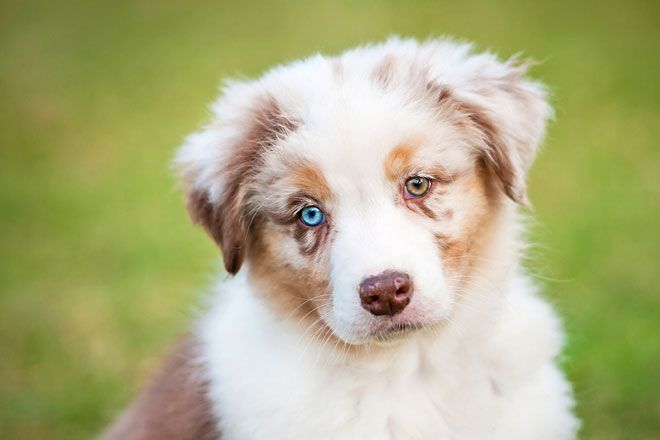 Interesting Facts About Heterochromia Most Beautiful Dog Breeds