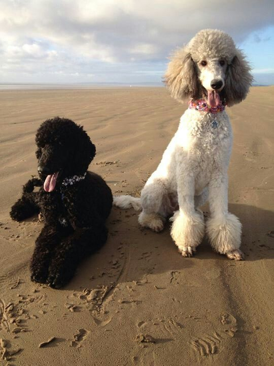 Guinness Cupcake Very Pretty Poodles Pretty Poodles Poodle