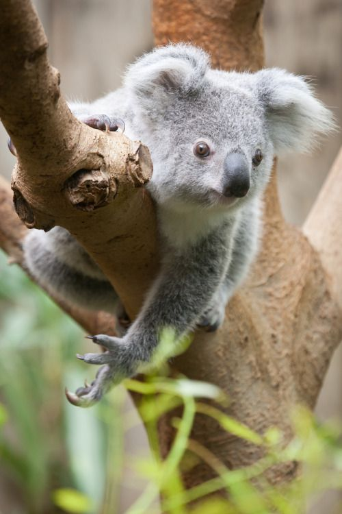 Koala By A J Haverkamp Click On Picture And Then Funkysafari