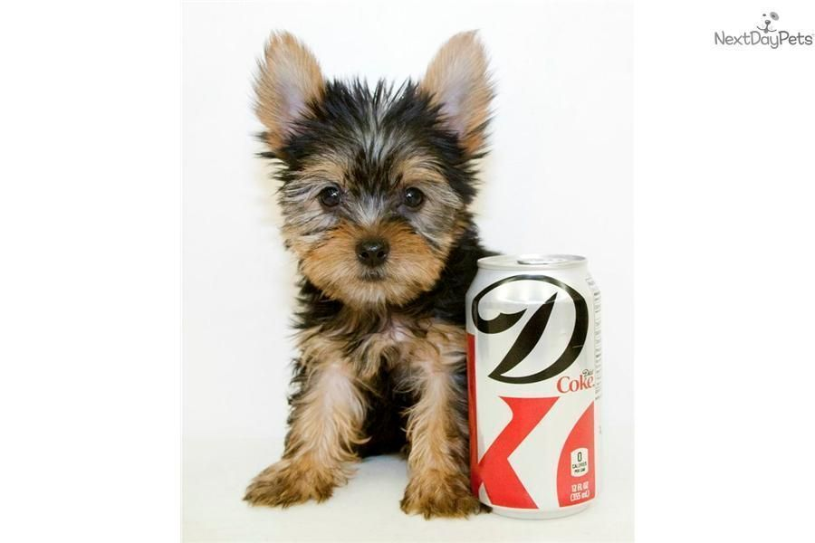 Meet Beckham A Cute Yorkshire Terrier Yorkie Puppy For Sale For 599 Micro Teacup Beckham Ou Yorkshire Terrier Yorkshire Terrier Funny Yorkie Puppy For Sale