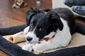 Sprollie Aka Springer Spaniel Border Collie Mix Same As My Baby Cute Dogs Sprollie Dogs And Puppies